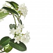 stock photo of climber plant  - Jasmine Stephanotis floribunda plant isolated on a white background - JPG