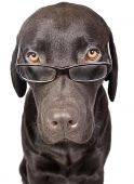 Shot Of A Cute And Clever Labrador With Glasses