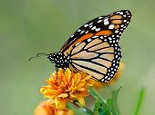 stock photo of color spot black white  - Monarch butterfly  - JPG