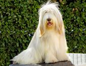 stock photo of long beard  - A young happy beautiful white fawn Bearded Collie sitting - JPG