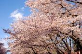 Flor de cerejeira, Tóquio, Japão