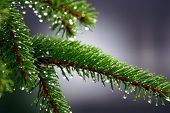 picture of diffraction  - pine branch hanging on to the last droplets of rain - JPG