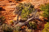 stock photo of juniper-tree  - Utah Juniper Tree Sandstone Garden of Eden Arches National Park Moab Utah USA Southwest.