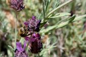 picture of devonshire  - Honey bee pollinating Spanish Lavendar in Northern Nevada on June 13 2009 - JPG
