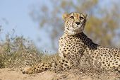 Female Cheetah (acinonyx Jubatus) Lying On A Termite Mound, South Africa