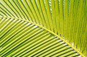 Coconut Green Leaf Background