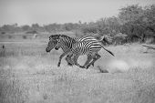 Running Zebras, Black and White photo