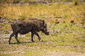Warthog walks in savanna