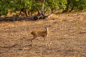 Steenbok Antelope in savanna