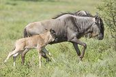 White Bearded Wildebeest and Calf
