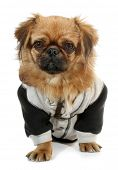 Pekingese dog in suit