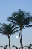 Palm Tree Moonset
