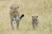 Female African Leopard Walking With Her Small Cub, Tanzania