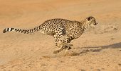 picture of cheetah  - cheetah running fast  - JPG
