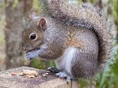 Gray squirrel, Sciurus Carolinensis, sitting on a fence post eating a peanut