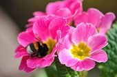 Beautiful pink flower with bee