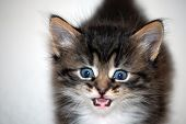 picture of mew  - mewing furry kitten on the white background - JPG