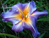 Majestic Day Lily poster