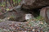 Blonde Wolf (Canis lupus) Peeks Out Of Den