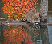 Raccoon (Procyon lotor) Reaches Into Water