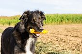Dog With A Corn Cob