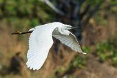 A White Morph Western Reef Heron Flying Past Palms