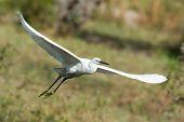 A White Morph Western Reef Heron In Flight