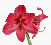 Amaryllis On White Background.