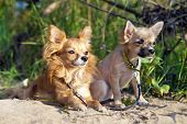 Chihuahua dog and puppy