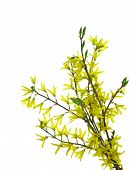 Forsythia Flowers On Twig