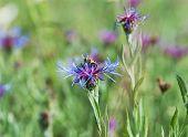 Bee And Beautiful Cornflower In Meadow
