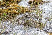 Hudsonian Godwit bird.