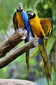 A Blue And Gold Macaw Showing Its Yellow Feathers, Perching Together On The Log