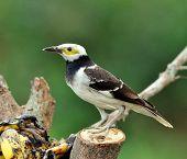 Beautiful Black-collared Starling Bird (sturnus Nigricollis) Eating Banana Fruit