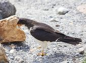Mountain Caracara Bird.