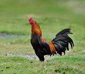 Cock; Hen; Chicken; Male; Father; Stand; Pround; Pride; Good; Farm; Wild; Colorful; Thailand; Grass;