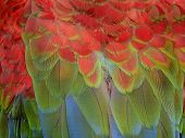 Feather Of Macaw, Green-winged Macaw, Red Green Blue Macaw Feathers, Macaw Feather Texture