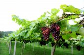 Grape In Wine Yard, Vine Yard With Fresh Grape Fuit