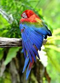 picture of green-winged macaw  - Green and red macaw spreading his wing for sunshade - JPG