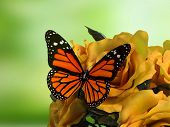 stock photo of lime-blossom  - Closeup of butterfly on flower blossom - JPG