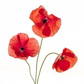 Three red poppy flowers isolated on white background, studio shot