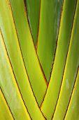 Close Up Of Banana Tree Background