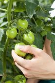 Unripe Tomatoes Growing In A Greenhouse
