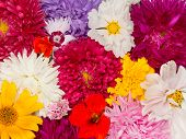 picture of nasturtium  - many beautiful different colored flowers asters kosmeya nasturtium carnation marigold - JPG