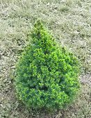 small fir