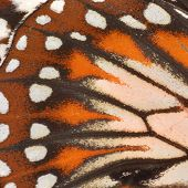 stock photo of monarch  - Macro close up of an Monarch Butterfly Wing - JPG