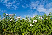 picture of ipomoea  - Ipomoea carnea or morning glory flower on tree against blue sky - JPG