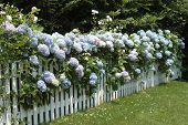 foto of martha  - A white picket fence lined with beautiful hydrangeas - JPG