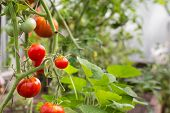 Red Tomatoes In Hothouse