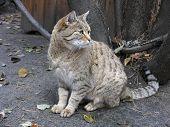 Steppe Wild Cat